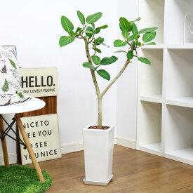 ベンガルボダイジュ/H91cm 陶器仕立 現品 観葉植物 フィカス ベンガレンシス フィカス属 中型 ゴムの木 バンヤンジュ ベンガルゴム 学名 Ficus benghalensis