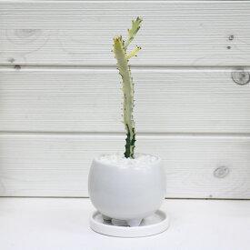 現品 ユーフォルビア・ホワイトゴースト/h27cm 陶器鉢仕立 希少種 育て易い 多肉植物 Euphorbia lactea White Ghost 多肉植物 バンザイ さぼてん サボテン インテリア