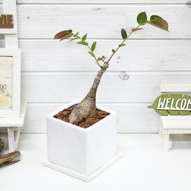 観葉植物 フィランサス ミラビリス/h37cm 陶器鉢仕立 現品 アイランサス コーデックス Caudex 多肉 学名 Phyllanthus mirabilis