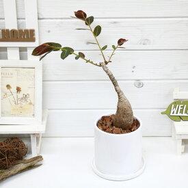 観葉植物 フィランサス ミラビリス/h42cm 陶器鉢仕立 現品 アイランサス コーデックス Caudex 多肉 学名 Phyllanthus mirabilis