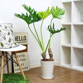 現品 セローム ホープ/h101cm 7号鉢 フィロデンドロン ヒトデカズラ イモ 株立ち 学名 Philodendron selloum
