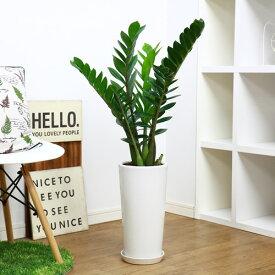 現品 ザミオクルカス ザミフォーリア/H95cm 陶器鉢仕立 金銭樹 花 ガーデン DIY 観葉植物 Zamioculcas zamiifolia