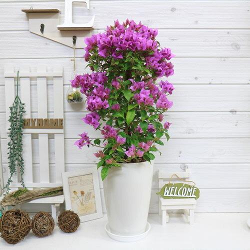 送料無料 ブーゲンビリア サンデリアナ/H65cm お洒落な7号鉢仕立 ブーゲンビレア 花木 観葉植物 癒し系