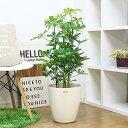 送料無料 人気のシェフレラ/H100cm 7号鉢仕立シェフレラ・ホンコンカポック アルボリコラ オクトパスツリー観葉植物 おすすめインテリ…