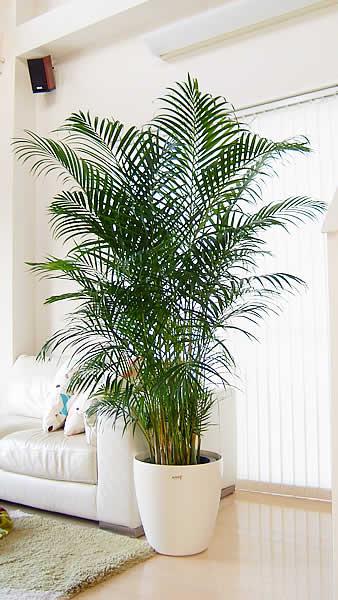 開業 開店祝に人気のアレカヤシ ビッグサイズ(10号)観葉植物 インテリア 大型 個人事業主 法人専用商品