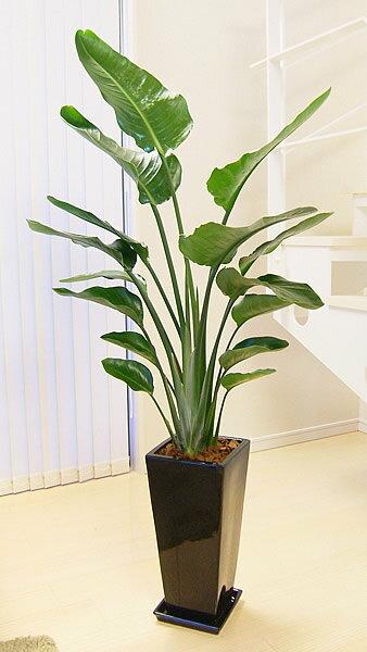 格好良い人気のストレリチア オーガスタ モダンなスクエアブラックロング高級陶器鉢仕立 観葉植物 大型