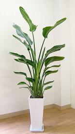 観葉植物 大型 人気のスタイリッシュ オーガスタ高級陶器鉢仕立 観葉植物 おしゃれなリビングに最適 開店祝い 法人 個人事業主専用商品