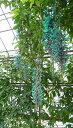 観葉植物 おすすめインテリア【ヒスイカズラ/4号鉢】 入手困難!翡翠色した美しい花を咲かせる