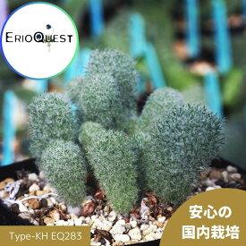 エリオスペルマム パラドクスム 霧氷玉 Eriospermum paradoxum Type-KH EQ283 実生 通販