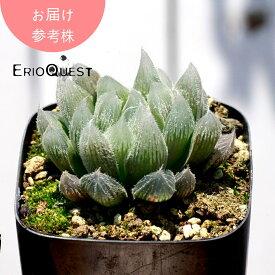 多肉 植物 ハオルチア 観葉植物 オシャレ ハオルチア クーペリー ヴェヌスタ変種 GM292 Haworthia cooperi venusta