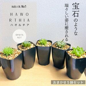 多肉植物 寄せ植え ハオルチア セット 5 観葉植物 インテリア Haworthia 観葉植物 おしゃれ インテリア 鉢 おしゃれ パキラ ミニ モンステラ セット 小さい 棚 卓上 ハイドロカルチャー サンスベ