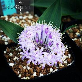 ラケナリア ピグマエア Lachenalia pygmaea EQ606 種類 販売 通販 珍しい 植物 球根 希少 南アフリカ