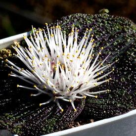 マッソニア ロンギペス Massonia longipes 種類 販売 通販 珍しい 植物 球根 希少 南アフリカ EQ870