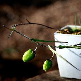 インパチェンス 苗 塊茎 通販 実生 希少 南アフリカ ホウセンカ ヴァレリア グラキリス Walleria gracilis