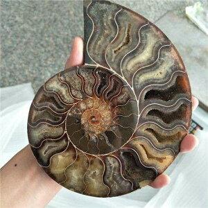 ビッグサイズマダガスカル化石 玉虫色アンモナイト天然石 ur0828