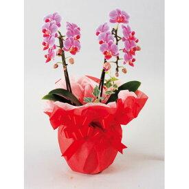 ミニ胡蝶蘭 2本立 陶器鉢 ラッピング ピンク系