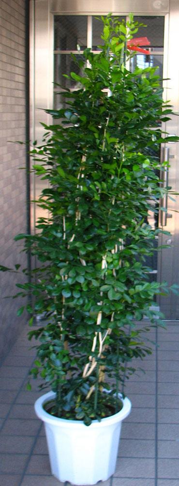 大型観葉植物 シルクジャスミン