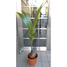 ココヤシの木(七号鉢)