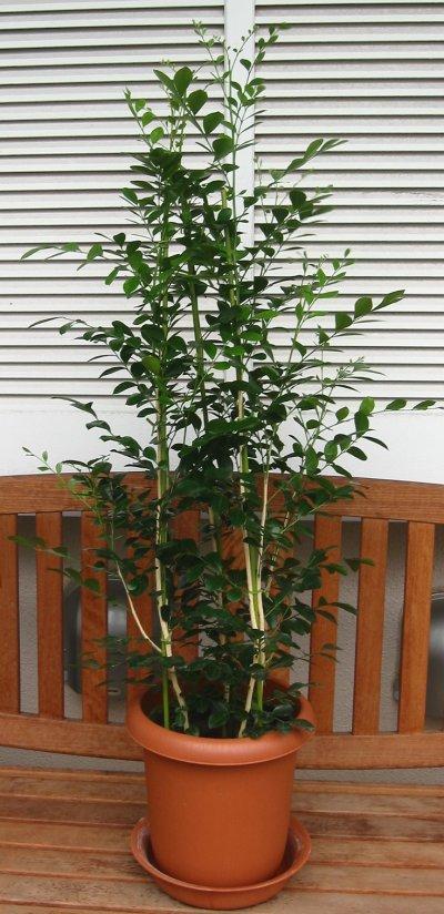 中型観葉植物 シルクジャスミン