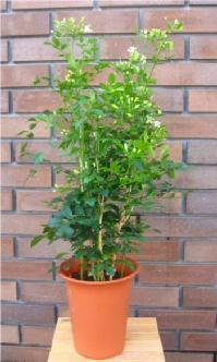 小型観葉植物 シルクジャスミン