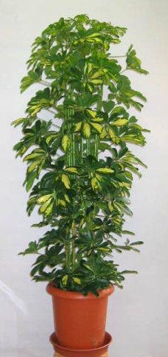 【送料無料】大型観葉植物 ホンコンカポック