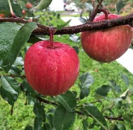【ふるさと納税】【令和2年予約】ひめかみりんご 約4kg