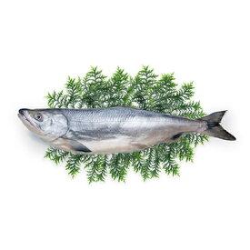 【ふるさと納税】北海道礼文島前浜産 特大新巻鮭(姿)約3.3kg 【魚貝類・サーモン・鮭・さけ・サケ】