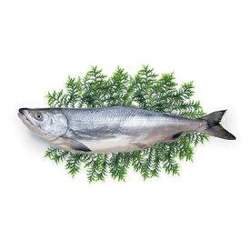 【ふるさと納税】北海道礼文島前浜産 新巻鮭(姿)約2.7kg 【魚貝類・サーモン・鮭・さけ・サケ】