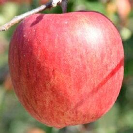【ふるさと納税】りんご「シナノスイート」14〜18玉 約5kg→→2019年11月から順次発送
