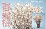 【ふるさと納税】FY19-433山形市産「啓翁桜」80cm(2〜3本入)×7袋