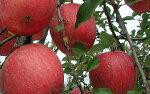【ふるさと納税】FY19-326山形産無袋栽培ふじりんご10kg