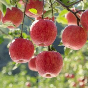 【ふるさと納税】甘み・酸味のバランスが抜群!小玉りんご(サンふじ)たっぷり5kg!秀品(20〜24玉)