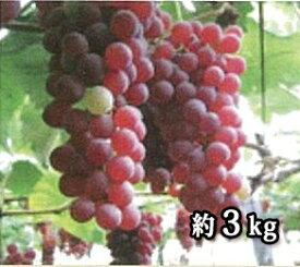 【ふるさと納税】山形県河北町産ぶどう(デラウェア)3kg