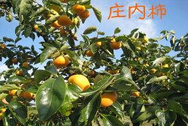【ふるさと納税】庄内柿(2020年10月下旬〜発送 入金期限:2020.10.20)