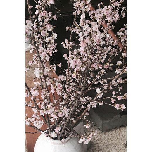 【ふるさと納税】啓翁桜 約70cm 12本