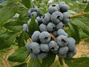 【ふるさと納税】白河産冷凍ブルーベリー 1kg
