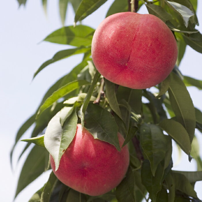 【ふるさと納税】もも(あかつき) 特秀3kg 「献上桃の郷」ブランド品