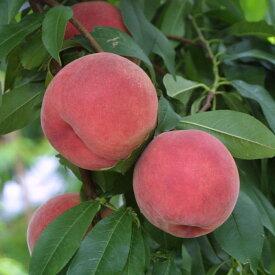 【ふるさと納税】【透過式光センサー】 あかつき 桃 特秀 5kg相当(13玉〜20玉)1箱 < ふくしま未来農業協同組合 >※ ふくしま 桃 福島 もも 国見 モモ 【果物詰合せ・フルーツ・果物・もも・桃・フルーツ】 お届け:2021年7月中旬頃〜8月上旬頃まで