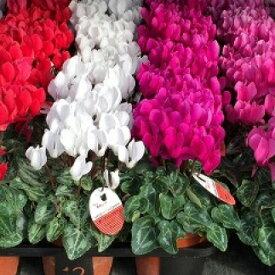 【ふるさと納税】須貝花園 ミニシクラメン(3.5号鉢)15鉢セット
