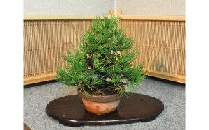 【ふるさと納税】黒松盆栽(小型サイズ)樹齢5〜10年程度【11100-0056】