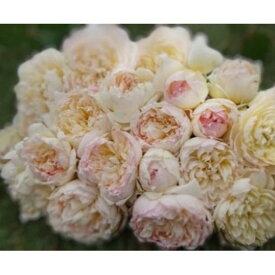 【ふるさと納税】【Apple Roses】バラ苗 'ザ・サイエンティスト'大苗6号鉢植え 【花・バラ・薔薇・ばら・お花】 お届け:発注後、2週間程度