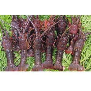 【ふるさと納税】【先行受付】漁協からの贈り物(伊勢海老 約1.5kg)2020年8月からお届け 5651-0556