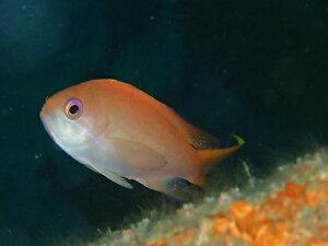 小田原の海で見られる魚