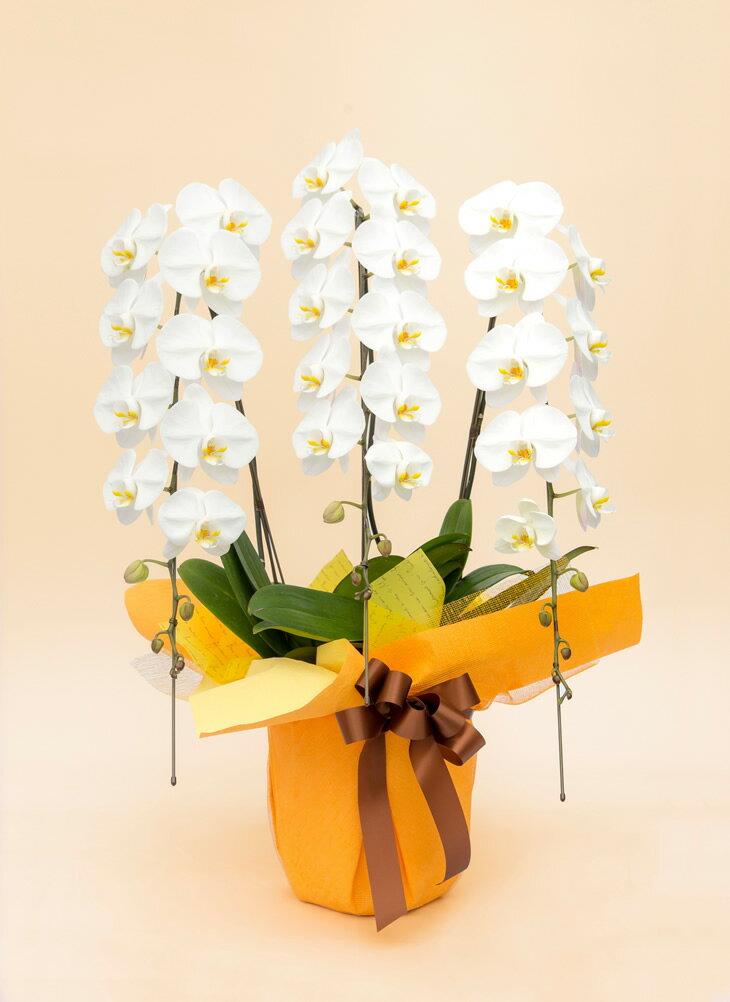 【ふるさと納税】《お花の回数券シリーズ》トップフローリスト厳選の胡蝶蘭3本立ちの回数券×10枚