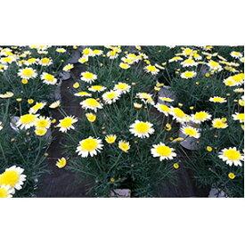 【ふるさと納税】マーガレット(5号鉢) 【植物・マーガレット・お花】 お届け:2021年2月下旬〜4月中旬まで