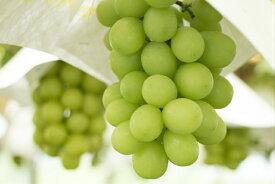 【ふるさと納税】シャインマスカット 1.5kg以上 訳あり 産地直送 2〜6房 山梨 おすすめ フルーツ ぶどう