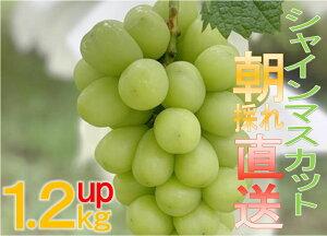 【ふるさと納税】B-490.特選高級シャインマスカット 朝採れ直送1.2kgUP(2〜3房)(KKH)