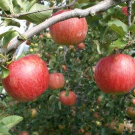 【ふるさと納税】913-004 JA信州うえだ合戦りんご「シナノスイート」10kg