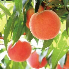 【ふるさと納税】≪8月上旬頃より発送≫川中島白桃 約3kg《市川ファーム》【果物・もも・フルーツ】