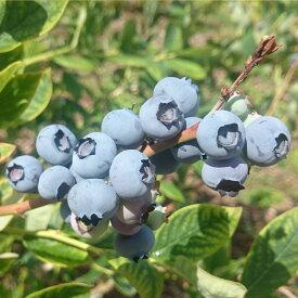 【ふるさと納税】【先行予約】ブルーベリー500g【果物・ぶどう・フルーツ】
